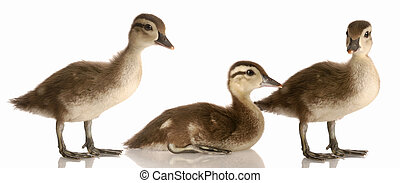 three mallard ducks - flock of baby mallard ducks isolated...