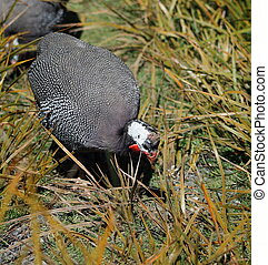 Close Up of a Guineafowl Hen - The guineafowl sometimes...