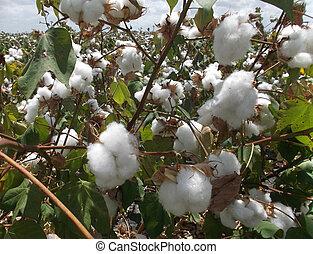 Cotton 2 - Freshly Grown Cotton Bush