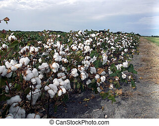 Cotton 4 - Blooming cotton field on the side of the road in...