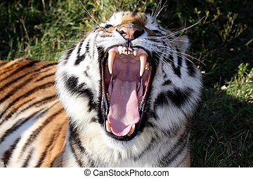 Tiger Teeth - Beautiful tiger with mouth wide open showing...
