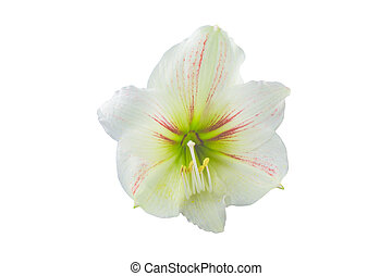 Hippeastrum isolated on white background