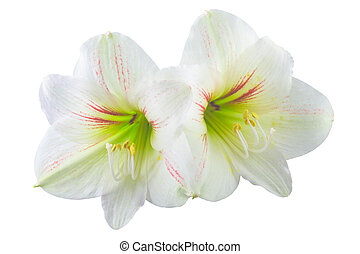 Hippeastrum isolated on white background.