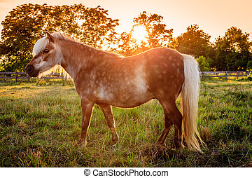 Shetland Pony - Image of a beautiful Shetland Pony on a farm...