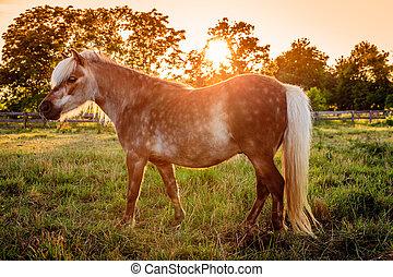 Shetland Pony - Image of a beautiful Shetland Pony on a farm...