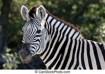 Zebra portrait with striking black and white stripes