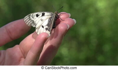 Butterfly at Their Fingertips - Butterfly with white wings...