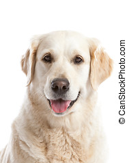 Golden retriever - Beautiful golden retriever dog looking...