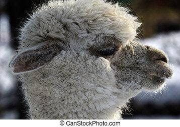 White Lama - Close-up profile portrait of a white Lama in...