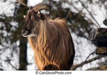 Himalayan Tahr - An Himalayan Tahr in a Winter mountain...