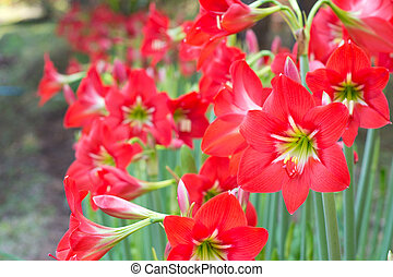 Gorgeous red hippeastrum flower