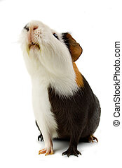 Guinea pig isolated on white - Guinea pig pet animal...