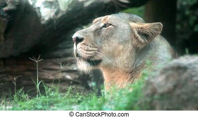 Profile of Female Lion - Video clip of female lion standing...
