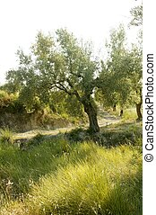 Olive tree field in Spain