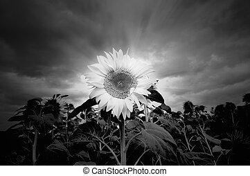 Sunflower in black and white - Black and white sunflowerin...