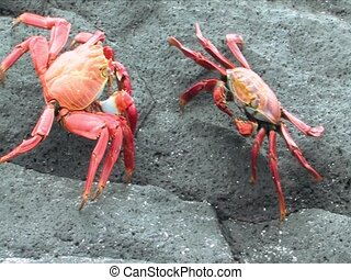 Two Sally Lightfoot Crab on the Galapagos Islands - Two...