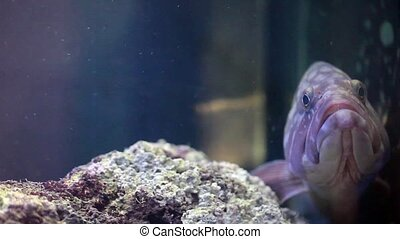 Dusky Grouper - Video clip of dusky grouper (Epinephelus...