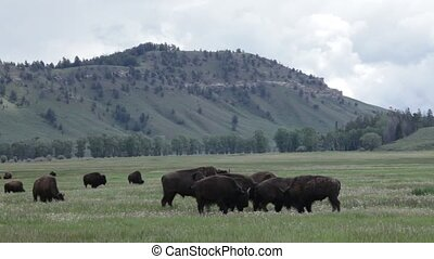 Beautiful Buffalos in Yellowstone National Park, Wyoming,...
