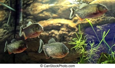 Group Of Piranha Fish - Video clip of tank with piranha...
