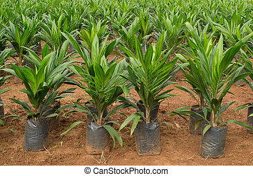 Oil palm sapling in Thailand