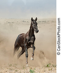 purebred young stalion running in desert