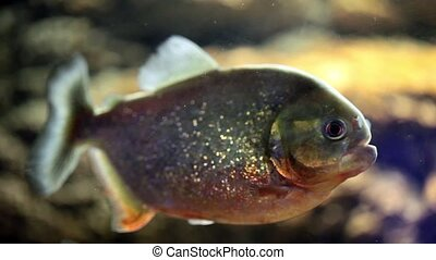 Piranha Fish - Video clip of piranha fish.