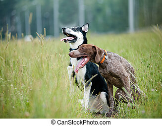 Young short-haired german pointer and siberian husky