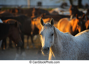 arabian horses in stud