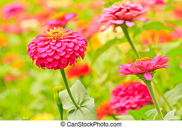 Zinnia elegans blooming in garden