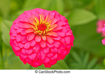 Zinnia elegans - Close up pink Zinnia elegans blooming in...
