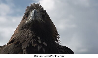 Golden Eagle on Sky Background - Berkut turning his head His...