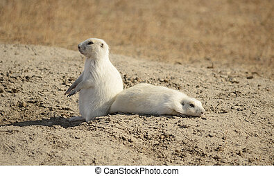 White Prairie Dogs