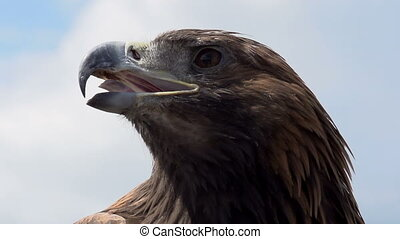 Golden Eagle Looks Around - Slow Motion at a rate of 240...