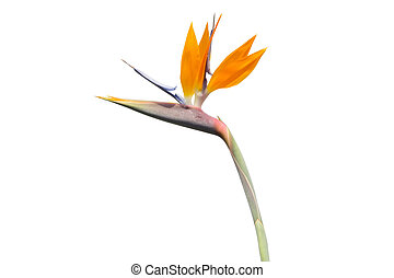 Bird of Paradise isolated on white background