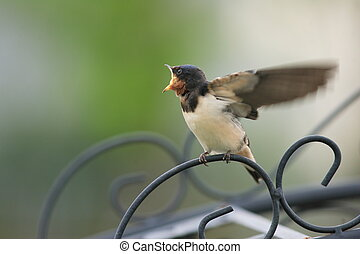 Barn Swallow (Hirundo rustica) in Japan
