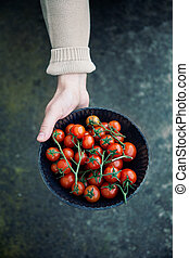 Fresh tomatoes - Tomato harvest. Farmers hands with freshly...