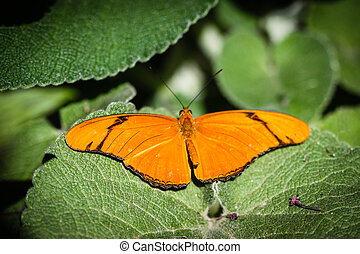 Julia Heliconian Dryas Julia - A colorful Julia Heliconian...