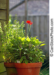 sage with mint and a poppy