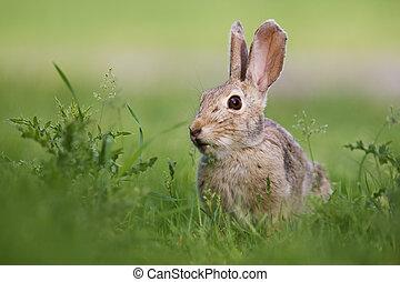 Wild rabbit - A wild rabbit grazing in green grass and...