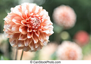 orange dahlia - blooming head of orange dahlia close up