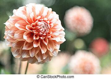 orange dahlia - blooming head of orange dahlia close up