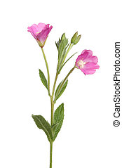 Greater Willowherb wild flower isolated against white