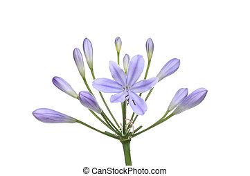 Agapanthus, flor