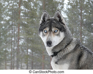 Blue eyes husky dog - Siberian husky dog (sled dog) with...