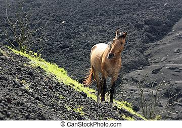 Wild Horse on Volcano
