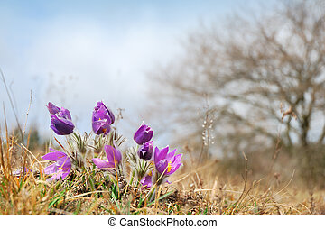 Wild pasque flowers in early spring
