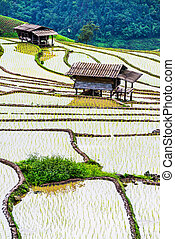 Terraced rice fields in northern Thailand ,Pa pong peang,...