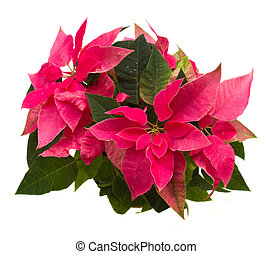 pink poinsettia flower or christmas star isolated on a white...