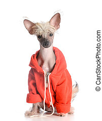 dog wearing sweater - chinese crested puppy isolated on...