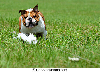 lure coursing - english bulldog running a lure course